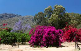 Colorful flowering bougainvillea and jacaranda