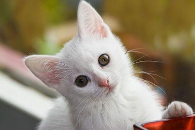 White, six weeks old ...