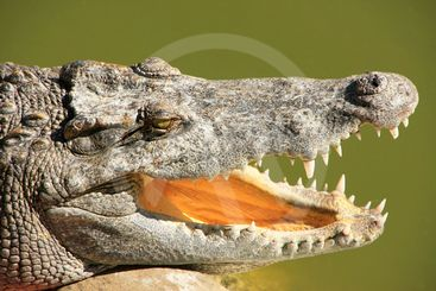 Close up of crocodile