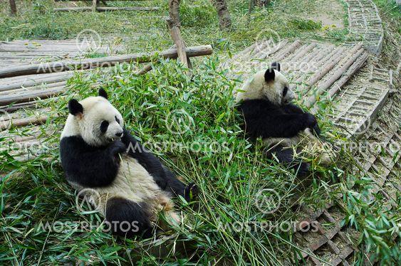 Giant panda bære