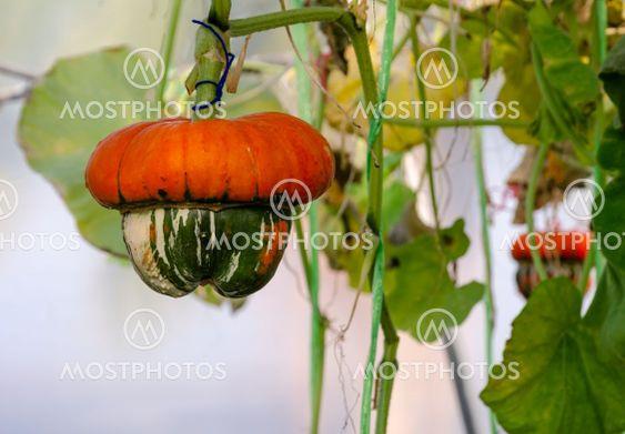 Turban Squash growing in greenhouse farm