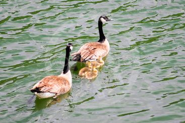 A Canada geese family (parents and three goslings)...