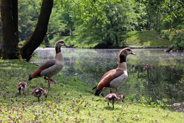 An Egyptian goose family at a creek