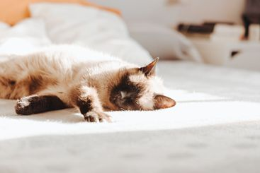 Siamese cat sleeping over a bed during a bright day with...