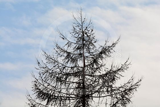 Silhouette fir with cones