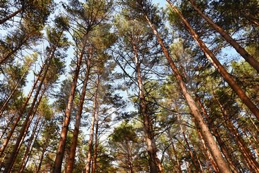Beautiful natural forest background. Coniferous trees on...