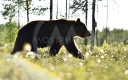 brown bear walking in daylight