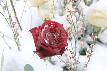 Red rose covered with snow