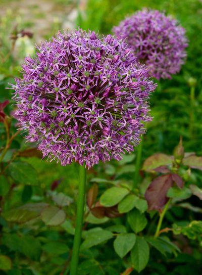 Flowers garlic