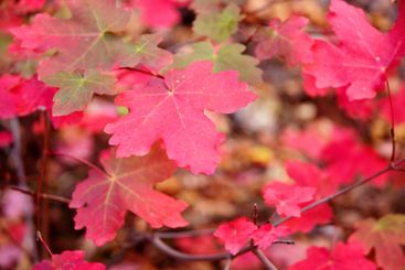 Maple Leaves in Zion NP