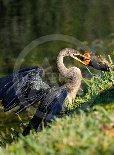 Anhinga eating fish