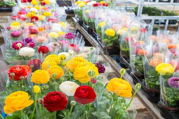 Greenhouse with colorful flower Buttercups wrapped in...