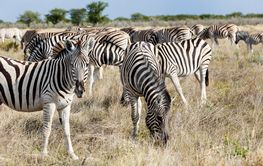 Herd plains zebras, Etosha National Park, Namibia