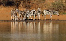 Plains zebras drinking water - Kruger National Park