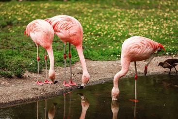 Pink big birds Greater Flamingos, Phoenicopterus ruber,...