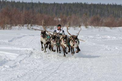 Racing of reindeers