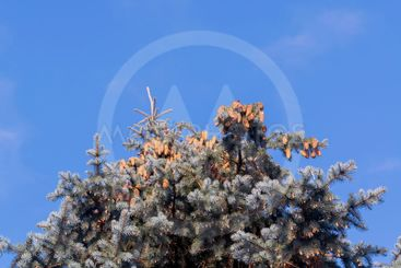 Crowns of blue fir trees with cones against the blue sky.