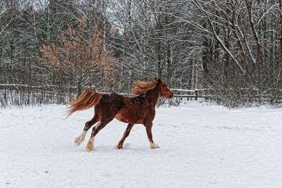 Winter horse - 1.