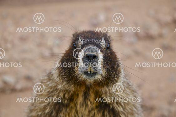 Bellied Marmot