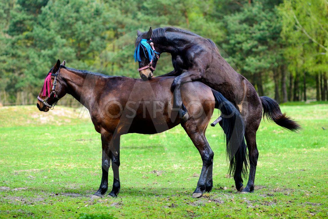 Horses having sex on the me by Kamila Kozioł - Mostphotos
