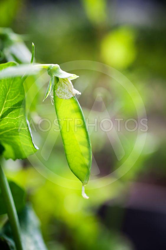 Growing green peas
