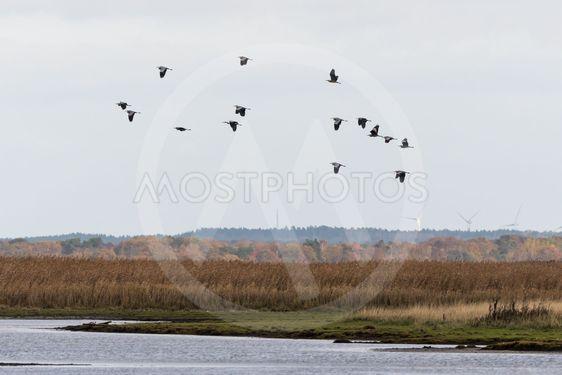 En flock hägrar flyger över ett höstfärgat vassområde