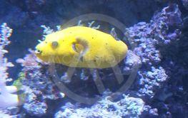 gul fisk i akvarium med koraller