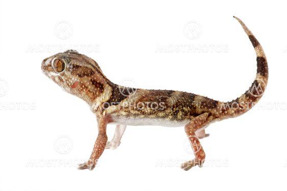 Giant jorden gecko