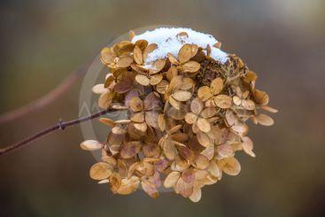 Snö på en torr blomma