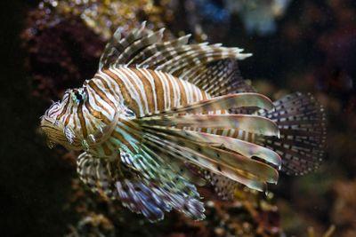 Lionfish, Turkey Fish, Dragon Fish, Scorpion or Fire Fish