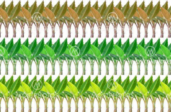 leaf green banana background