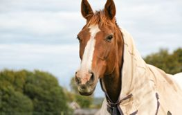 Beautiful chestnut brown horse with a blaze - Silvertid