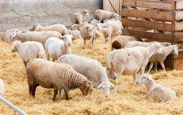 Sheep on the farm, Provance, France