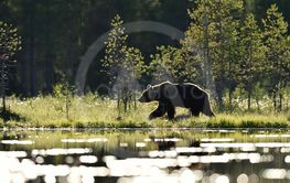 Brown bear walking in bog at summer daylight