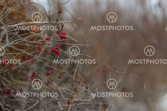 Red berries hang on the bare branches of a bush in the...