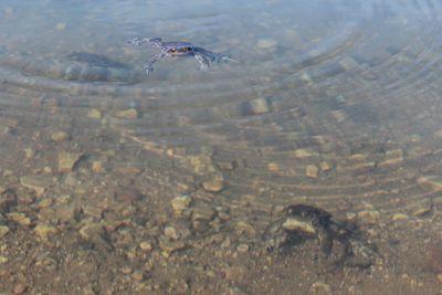 frogs, spring, lake, pond
