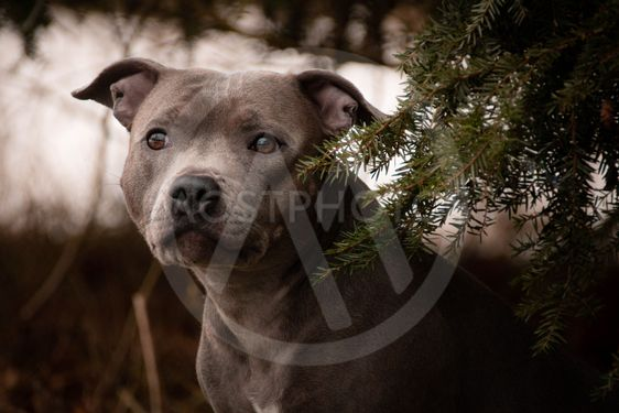 Portrait of staffordshire bull terrier under the spruce