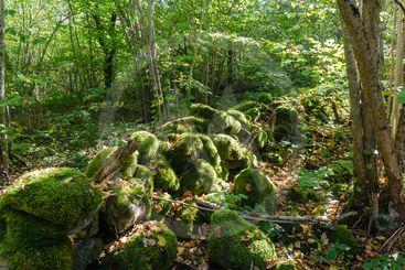 Vacker mossig omkullfallen gammal stenmur i Ölands...