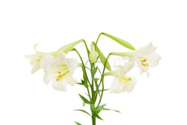 Lilies isolated on the white background