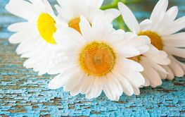 Chamomile flowers on wooden background with copy space