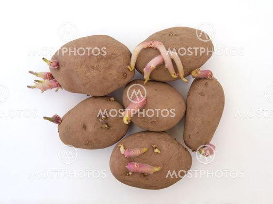 Økologiske læggekartofler