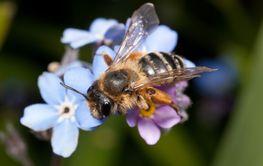 Female Mining bee