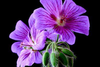 garden geranium (Ger. ? magnificum)