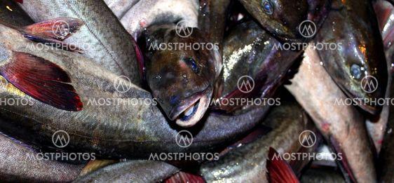 Kalojen saalis