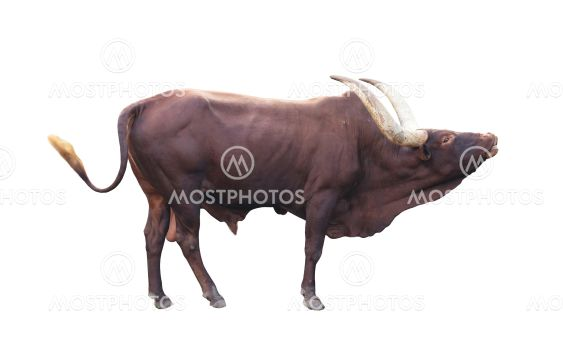 ankole watusi isolated on white background
