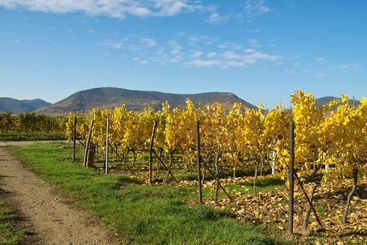 Yellow rows of grapes