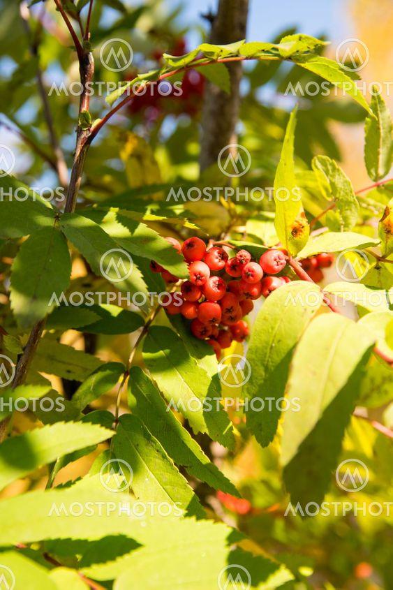 Ветка рябины с ягодами на фоне неба