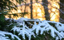 Almanacka 2020 December Snöklädd gran i vinterljus...