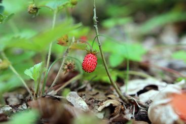Red single wild strawberry on forest ground