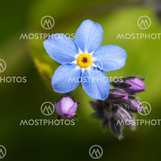 Forget-me-not flower. Myosotis.